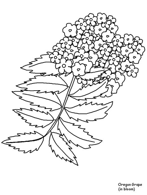 printable oregongrape flowers coloring pages