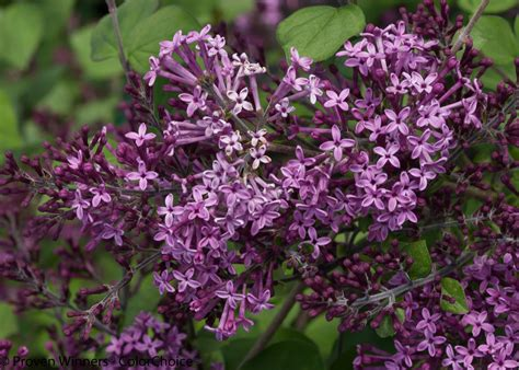 purple lilac bloomerang 174 dark purple reblooming lilac syringa