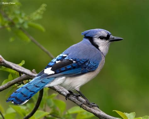 wild life blue jay birds wallpaper wild birds