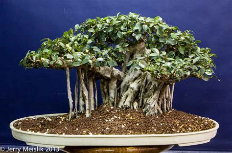 best fig the best figs for bonsai