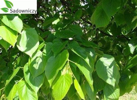 Linde Garten Pflanzen by Sommerlinde Tilia Platyphyllos Pflanzen Enzyklop 228 Die