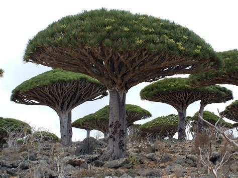 amazing tree dragons blood tree top 10 trees toptenz net