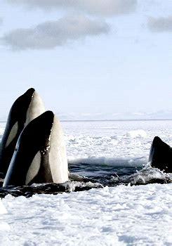wale gif killer whale gif tumblr