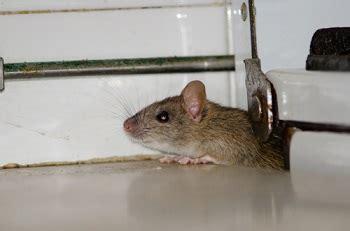 huis muis muizen in huis meldpunt ongedierte