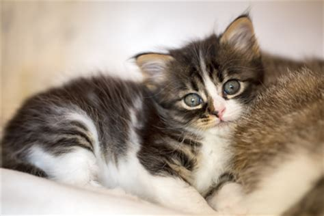 gattini alimentazione l alimentazione dei gattini dallo svezzamento ai 12 mesi