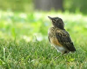 leave baby birds be ornithology