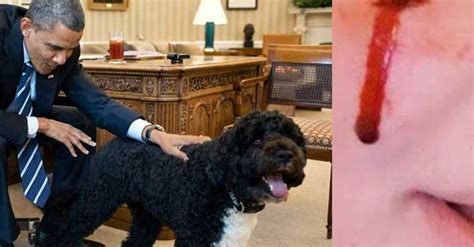 white house dog sunny barack obama s dog sunny bit white house visitor in the face