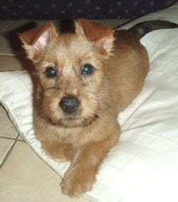 australian terrier puppies for sale 301 moved permanently