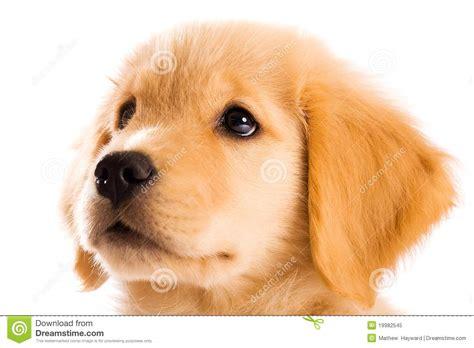13 week golden retriever puppy golden retriever puppy royalty free stock photo image 19982545