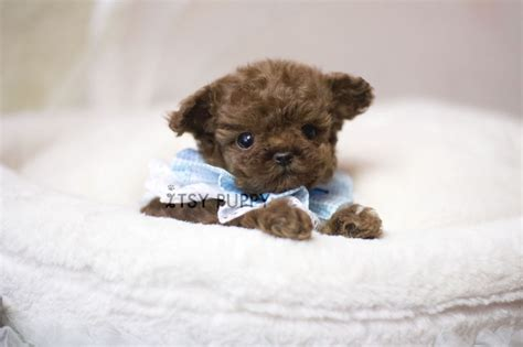 micro poodle puppy sold ona micro poodle itsy puppy teacup