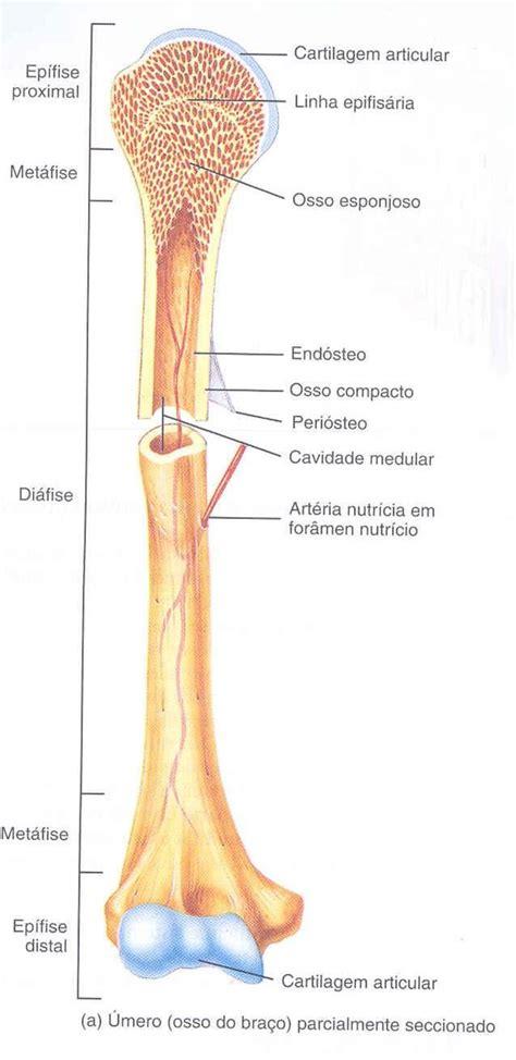anatomia interna corpo umano 25 melhores ideias de anatomia ossos no