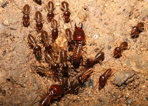 How To Get Rid Of Termites In Kitchen Cabinets The Easy Methods How To Get Rid The Termites In Your Lovely Furniture Homesfeed