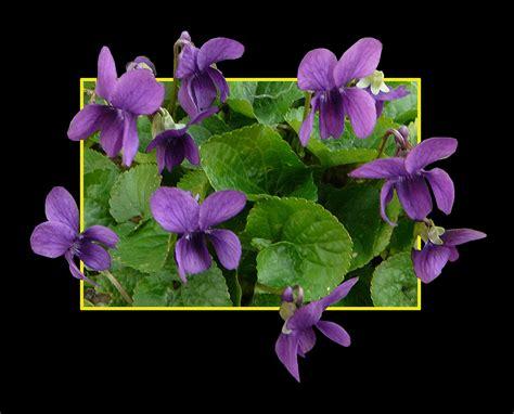 fiori violette foto 380 viola mammola foto immagini piante fiori e funghi