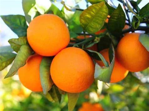 orange tree diacos garden nursery  garden centre