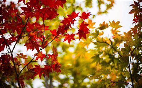 daun maple wallpaper feuilles d 233 rable d automne jaune rouge branches flou