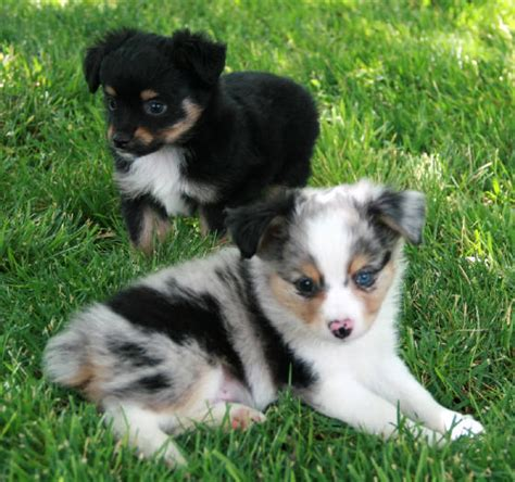aussie puppies for sale in pin australian shepherd puppies for sale on