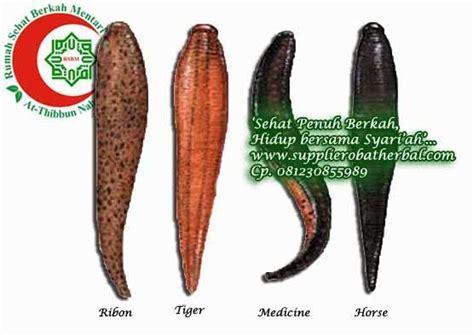 Minyak Lintah Punan lintah surabaya 081230855989 jual lintah terapi