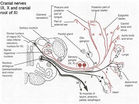 diagram of the vagus nerve vagus nerve anatomy diagram