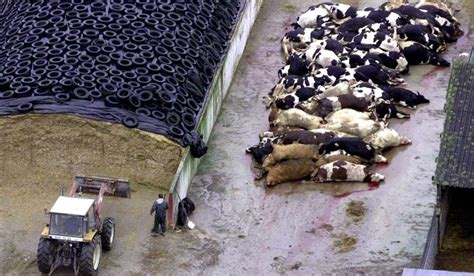 imagenes vacas locas detectado un nuevo caso de vacas locas en asturias