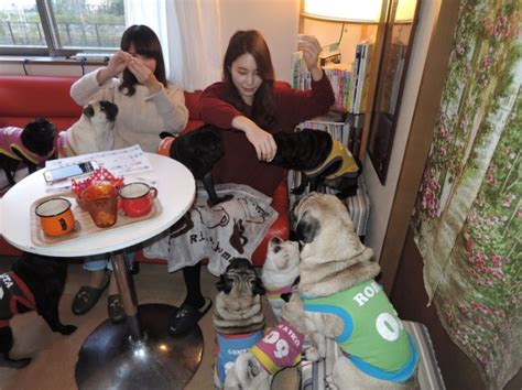 pug cafe kyoto caf 233 in kyoto is every pug