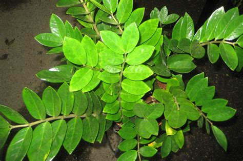 Very Low Light Houseplants | the tattooed gardener top 10 houseplants for low light