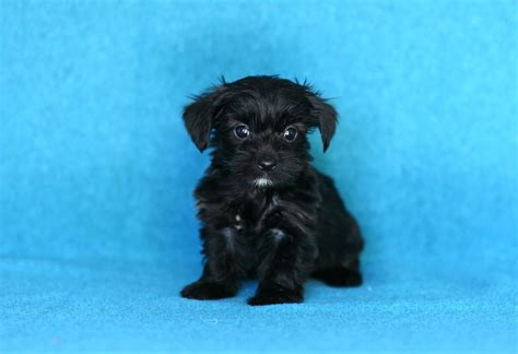 yorkie puppies for sale mn craigslist lovable yorkie poo puppies puppyindex