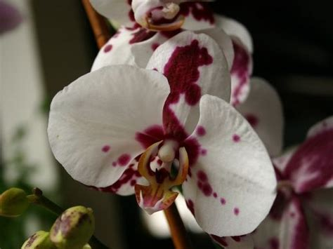 spotted phalaenopsis blood spatter orchid gimme