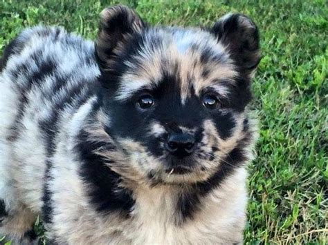 australian shepherd x pomeranian can you guess the mixed breeds of these adorable dogs playbuzz