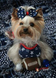my yorkie keeps shaking lillie ry yorkies to go bye bye in the car dogs pets so