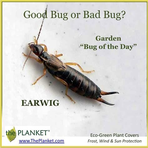 28 best Bugs - Earwig images on Pinterest | Bugs, Insects ...