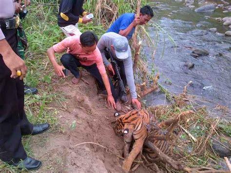 Pola Kulit Macan Harimau harimau mongabay co id