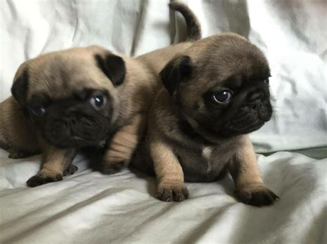 fawn pug puppies for sale uk beautiful fawn black pug puppies for sale bacup lancashire pets4homes