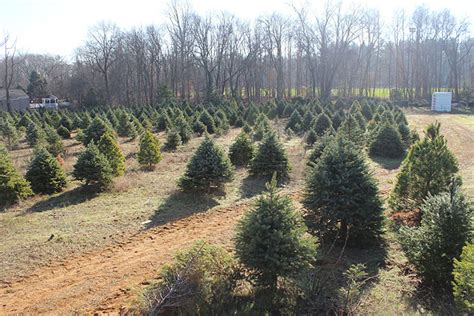 the two river times christmas trees are a growth