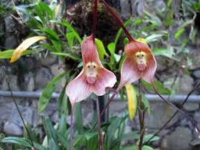 monkey orchid monkey flower amazing orchid