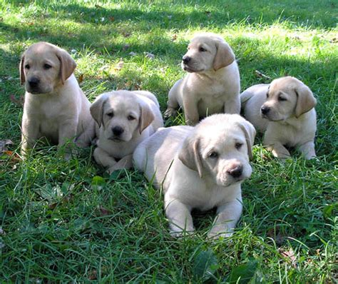 labrador retriever puppies for sale usa puppy pictures
