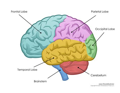 brain sections labeled human brain parts diagram human brain diagram labeled