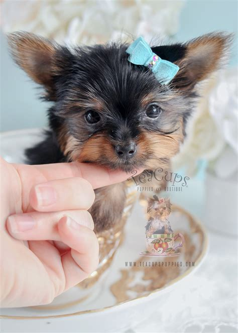 yorkie faq yorkies and teacup yorkies teacups puppies boutique