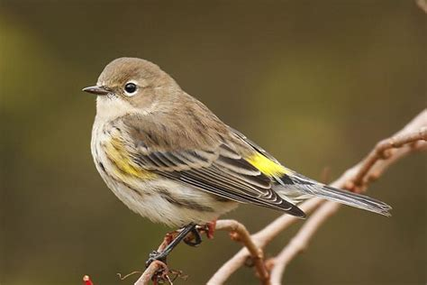 cape cod birds devoted to birds and birding on cape cod