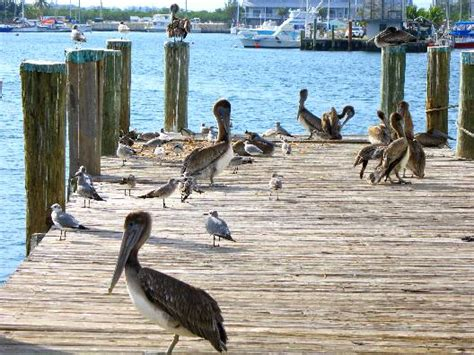 pelican boat key west brown pelicans on stock island fish house dock