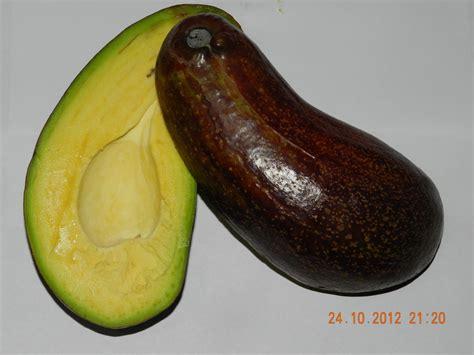 Bibit Buah Alpukat Tanpa Biji bibit tanaman buah avocado pearjumbo