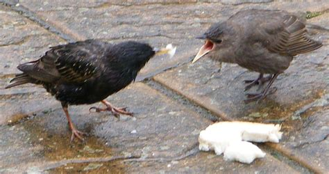 file birds eating bread jpg wikipedia