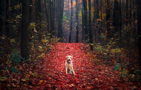 wallpaper labrador retriever autumn foliage forest hd