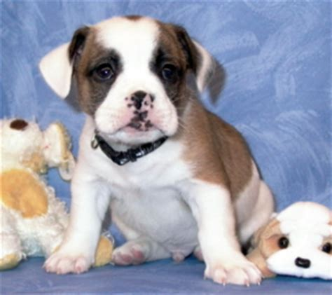 shih tzu bulldog mix find out about the bulldog shih tzu mix dogable