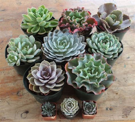 succulent containers for sale 646 best succulents for sale images on pinterest