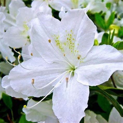 White Flowers by Top 25 Most Beautiful White Flowers