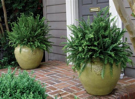 ferns in containers google search flowers topiaries
