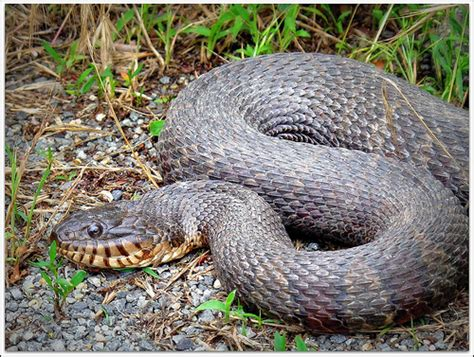 Garden Snake Island Northern Water Snake This Is A Capture Of A Large