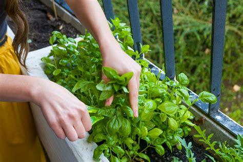 pianta di limoni in vaso cura come curare la pianta di limone in vaso o in giardino l