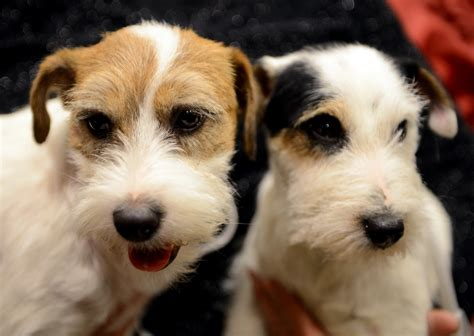 dogs in the news westminster kennel club debuts two new breeds photo 1 pictures cbs news