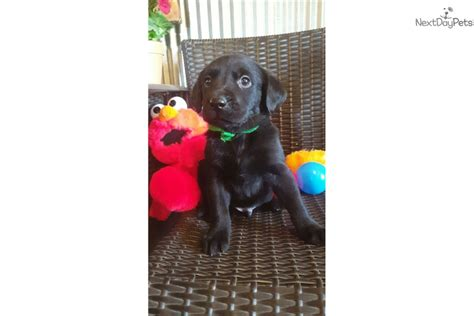 puppies for sale st cloud mn beautiful goldador puppies black puppy for sale in cloud mn 4460839258